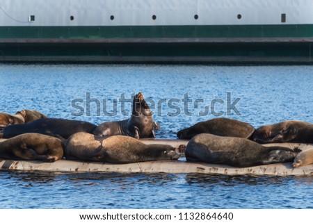 california sea lions hauled out ...