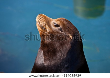California Seal commonly called Sea Lion in Morro Bay, California, USA