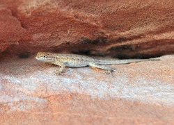 California side blotched lizard on red rock, Valley of Fire National Park, Nevada, United States