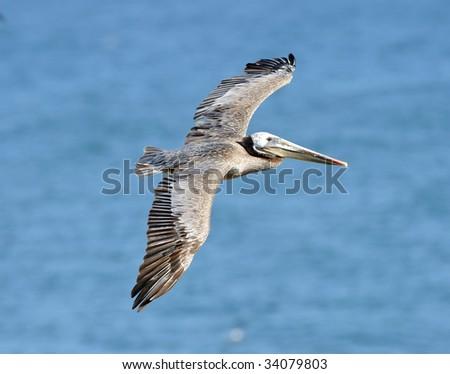 californian brown pelican cruising