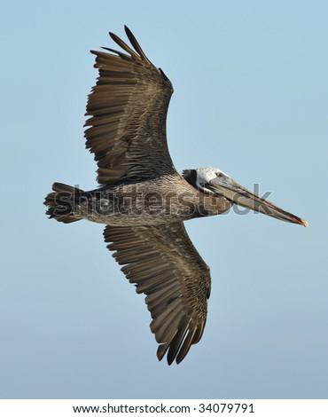 californian brown pelican flying