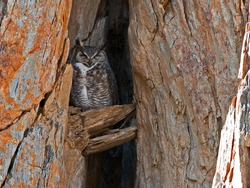 Californian Great Horned Owl in Lake Isabella California USA