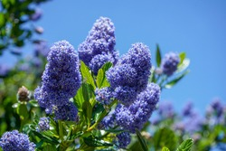Californian Lilac flowering in the spring