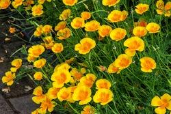 Californian poppy eschscholzia californica a yellow oranage spring summer flower plant stock photo image