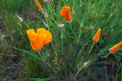Californian poppy ,Eschscholzia californica, also called gold poppy, is a species of the poppy family, Papaveraceae.