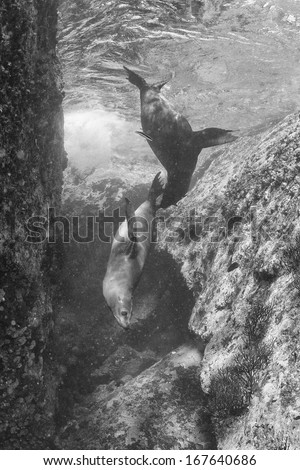 californian sea lion seal coming to you underwater