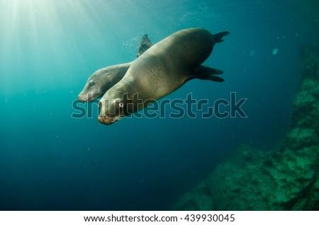 Californian sea lion (Zalophus californianus) swimming and playing in the reefs of los islotes in Espiritu Santo island at La paz,The world's aquarium. Baja California Sur,Mexico.  #439930045