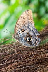 Caligo Eurilochus butterfly