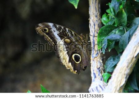 Caligo memnon (Giant Owl) (Baykuş Kelebeği) Stok fotoğraf ©