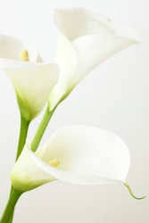 Calla lilies close-up. Shallow DOF.