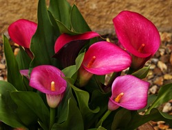 Calla Lilies in a garden environment, showing vibrancy and freshness