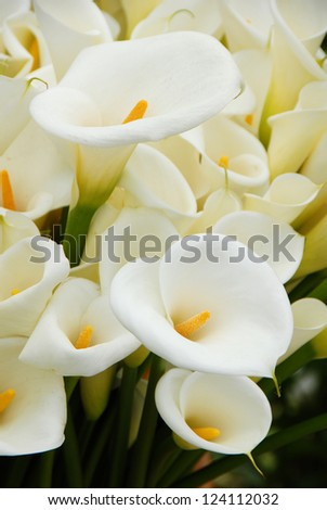 Calla lily flower blooming in spring