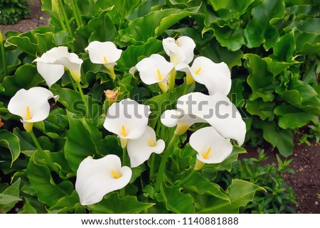 Calla lily flowers in botanical garden