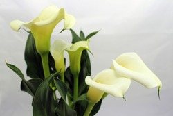 Calla lily flowers on a white background, close up