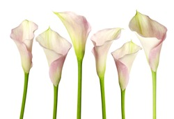 calla lily isolated on a white background
