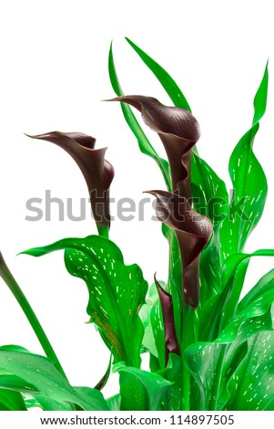 calla lily isolated on white background