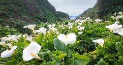 Calla Lily Valley at Garrapata State Park (Big Sur)