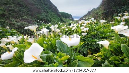 Calla Lily Valley at Garrapata State Park (Big Sur) Stockfoto ©