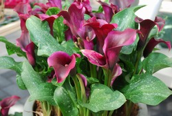 Calla PU69-Dreamland in the flower pot. Spring time in  Netherlands.