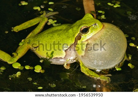 Calling male tree frog or Hyla arborea floating in a pond with large inflated vocal sack while gently holding on to a grass stem under water, nocturnal picture ストックフォト ©
