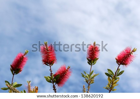 Callistemon, a ornamental shrub in the family Myrtaceae, all endemic to Australia. Commonly referred to as bottlebrushes because of their, brush like flowers resembling a traditional bottle brush.