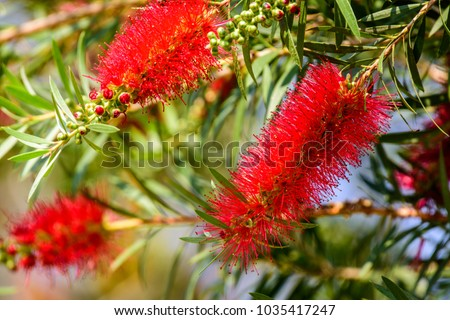 Callistemon viminalis (Weeping Bottlebrush, creek bottlebrush) ; Showing bouquet of flowers around branches. The true flower is white and green withstamens lot red.Leaf shaped or slender lance. #1035417247