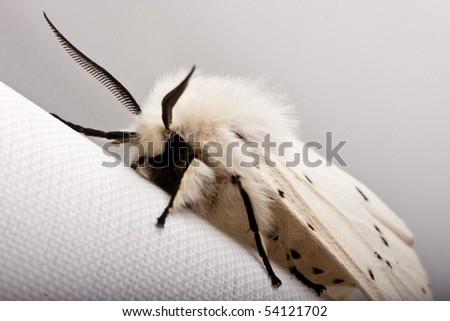 Calliteara pudibunda