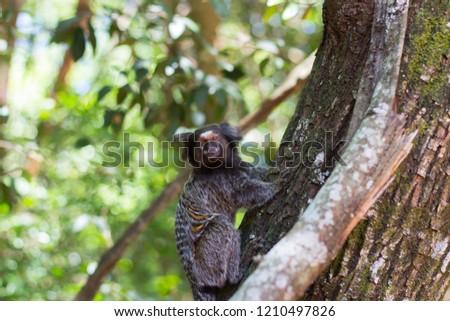 Callithrix penicillata (Sagui / Marmoset ) Brazil Native