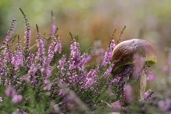 Calluna vulgaris (known as Common Heather, ling, or simply heather and big edible mushroom - cep