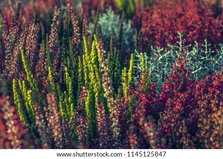 Calluna vulgaris (known as common heather, ling, or simply heather). Bright colorful autumnal background. Filled full frame picture. Diversity of plants in city flowerpot. Heather of various species. #1145125847