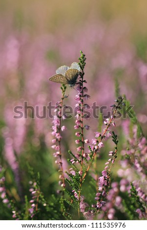 Calluna vulgaris known as Common Heather, ling, or simply heather  with butterfly