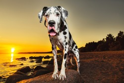 Calm adorable great Dane dog resting on sandy beach leaning on stone and looking at camera in sunset evening
