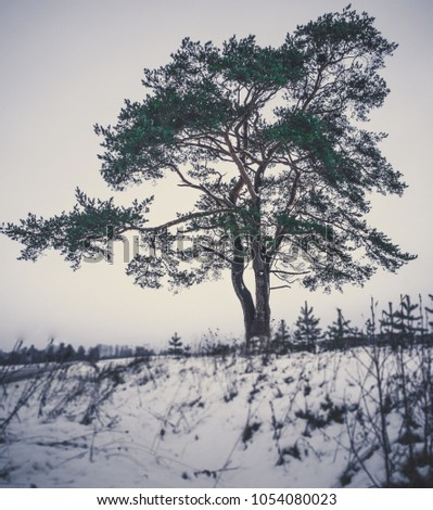 calm and lonely pine tree...