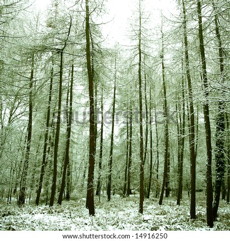 Calm and peaceful alpine forest covered in snow, in winter