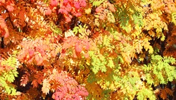Calm fall season. Rowan leaves in autumn forest.  Rowan-tree with green, yellow and orange leaves in the woodland