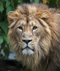 Calm stare of an Asian lion in forest. The King of beasts, biggest cat of the world, looking straight into the camera. The most dangerous and mighty predator of the world. Wild beauty of the nature.