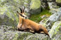 Calm tatra chamois, rupicapra rupicapra, lying down on a rock in summer mountains. Tranquil chamois resting rock from profile. Wild goat with horns resting in nature from side view.