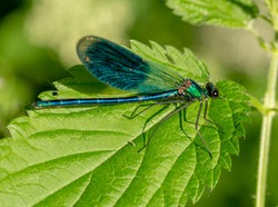 Calopteryx virgo , Beautiful Damselfly , Calopterygidae , Dragonfly resting on the green leaf of Stinging nettle (Urtica dioica). Close up. Selective focus.