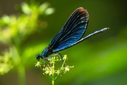 Calopteryx virgo dragonfly sitting on the flower