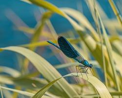 Calopteryx virgo, the Beautiful Demoiselle, is a European damselfly. It is often found among fast-flowing waters.