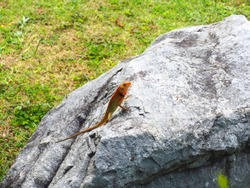 Calotes versicolor ,Changeable Lizard or Red-headed Lizard on rock.