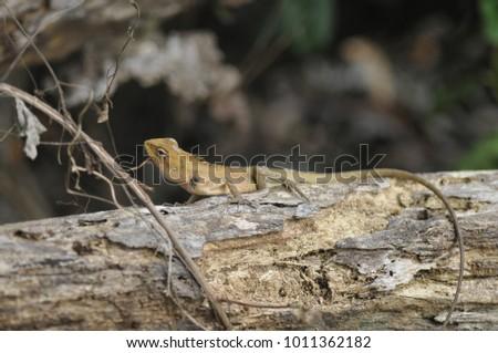 Calotes versicolor  -  in thailand #1011362182