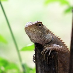 Calotes Versicolor Lizard (Agamidae) relaxing on the tree.