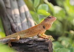 Calotes versicolor or Oriental garden lizard on the Dry branches in the morning.