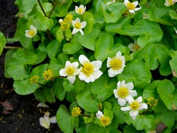 Caltha leptosepala, the white marsh marigold, twinflowered marsh marigold, or broadleaved marsh marigold, is a species of flowering plant in the buttercup family.