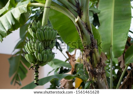 caltivated banana is a tropical fruit   #1561461628