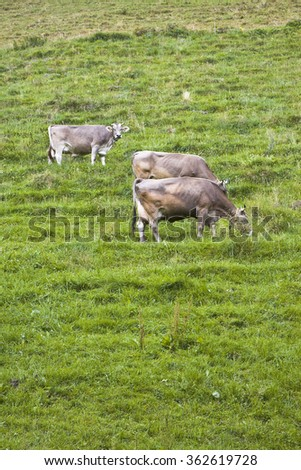 Calves and cows in a Switzerland pasture with copy space