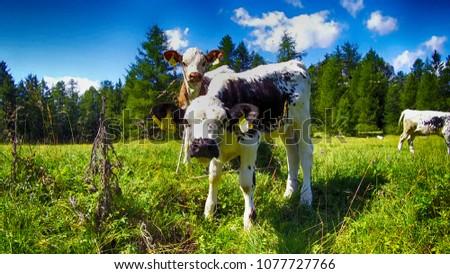 calves grazing in the Alps, Alta Badia Italy #1077727766