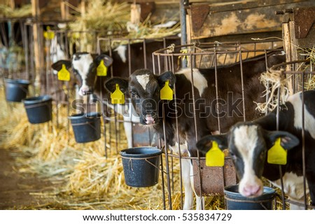Calves in a barn eating hay and drinking milk