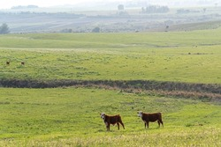 Calves in extensive breeding field in Rio Grande do Sul, Brazil. Beef cattle breeding. South American Pampa. Breeding farm in southern Brazil.